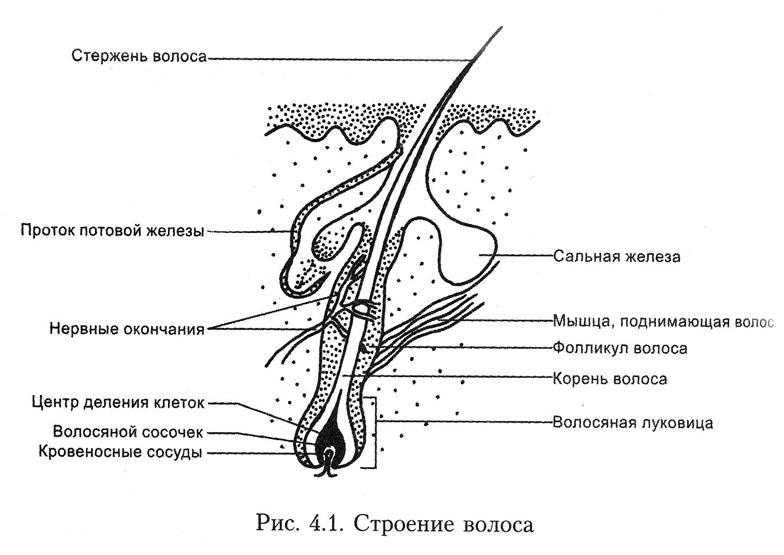 Сосочек Волосяной