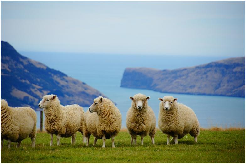 Добывают полезные частицы из шерсти овечек Новой Зеландии, чем обусловлена высокая цена на препараты и стоимость процедуры